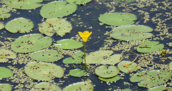 20160701 平筒沼の花 w800 DSC_5768.jpg