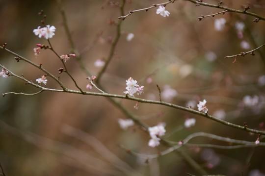 201802161140 十月桜 w800 DSC_9953.jpg