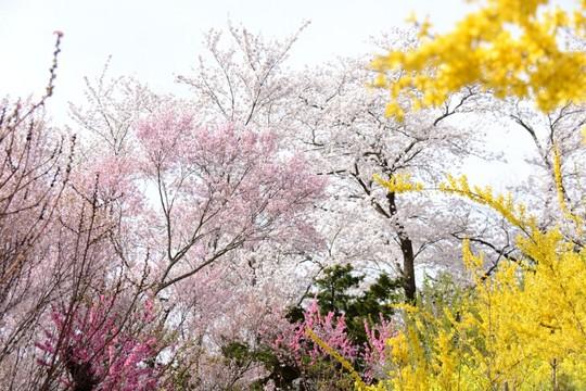 201804051446 桜 w1024 DSC_0725.jpg
