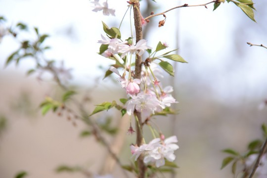 201804051525 十月桜 w1024 DSC_0827.jpg
