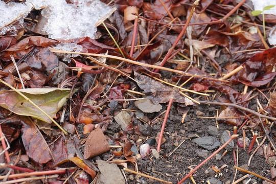 201903311724 積雪とイカリソウの花芽 w1024 P1410545.jpg