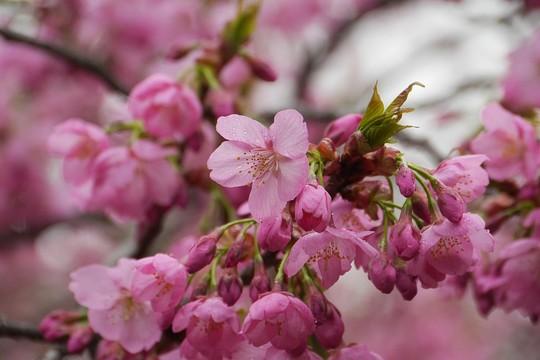 201904261236 横浜緋桜 w1024 P1450794.jpg