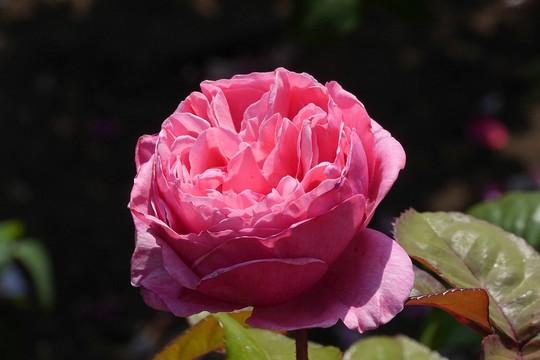 201905261334 ピンクのバラ w1024 P1480390.jpg