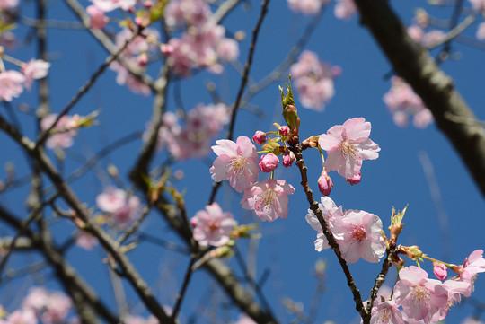 202002181441 河津桜 w1280 DSC_7233.jpg