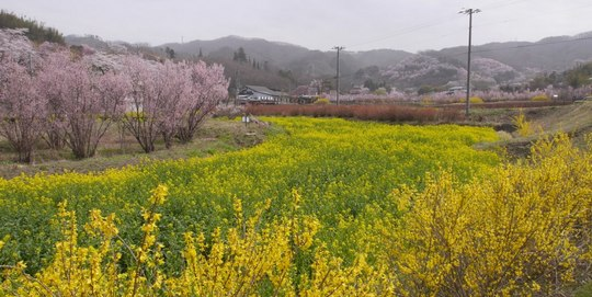 202103301213 菜の花 w1280 P1740220 ojx87.jpg