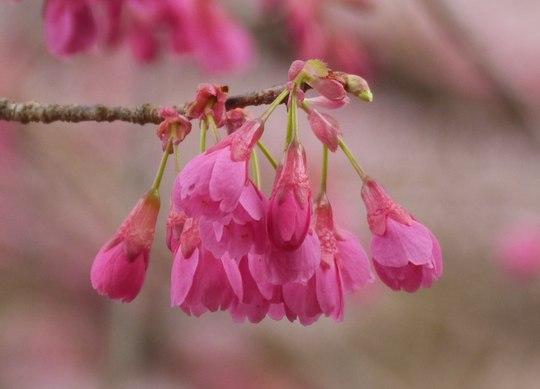 202103301325 寒緋桜 w1280 P1740427 ojx87.jpg