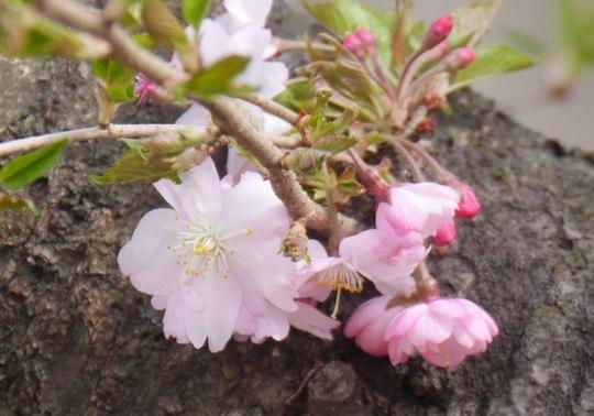 202103301343 十月桜 w10024 P1740496 ojx87.jpg