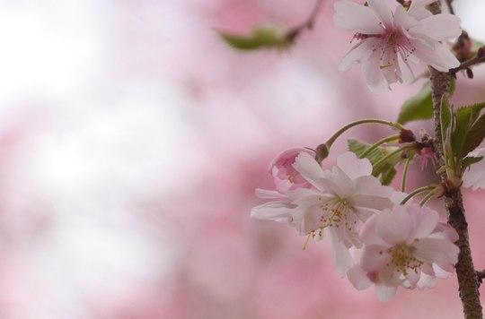 202103301344 十月桜 w1920 P1740503 ojx87.jpg