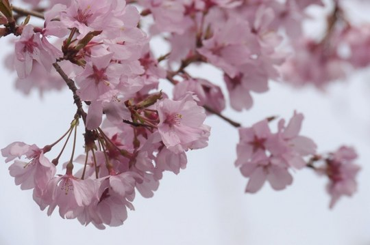 202103301353 彼岸桜 w1280 P1740555 ojx87.jpg