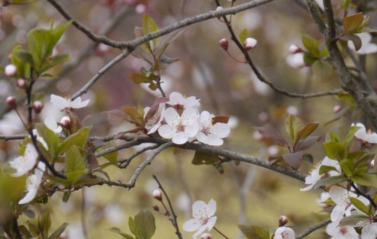 202103301400 早く咲いたベニバスモモ w1024 P1740581.jpg